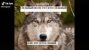 Цитаты про волка из TikTok