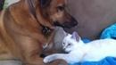 Дружба Собак и Кошек. Собаки няньки