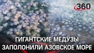 «Кому желе?»: нашествие гигантских медуз в Азовском море туристы сняли на видео. Есть и ядовитые