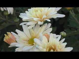 Что цветет в СЕНТЯБРЕ.... Парад хризантем. Цветение в саду  23 09 2020г.