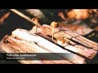 Magic mushrooms - Psychoactive species