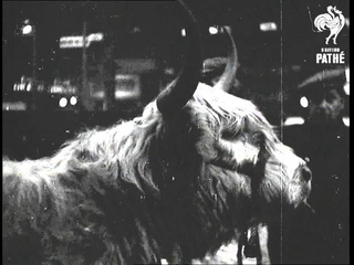 London - Cattle Show  (1937)