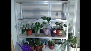 Хризантемы . Петунии цветут .Стеллаж для рассады цветов и овощных культур.