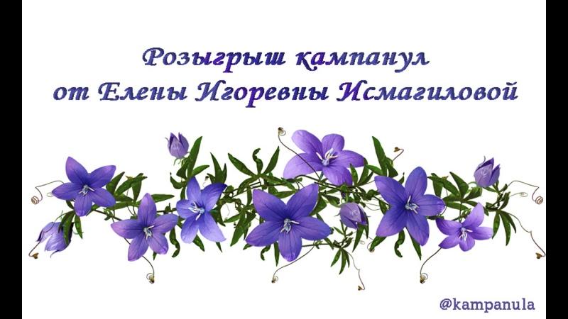 Розыгрыш кампанул от Елены Игоревны Исмагиловой