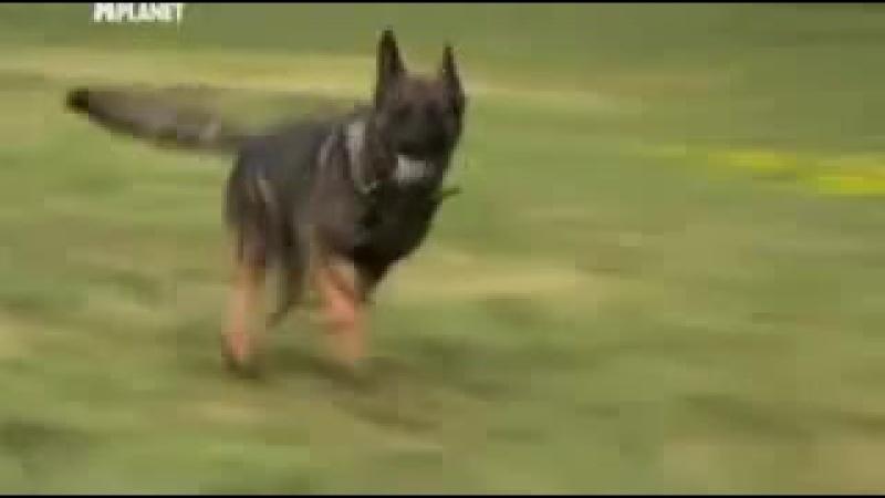 Введение в собаковедение Немецкая овчарка