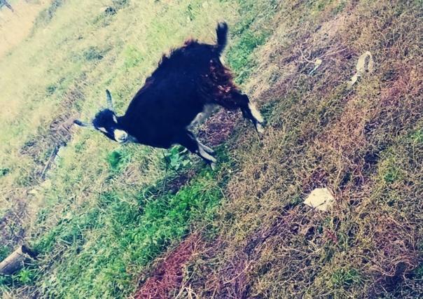 Здравствуйте. Потерялась коза из частного хозяйства. Испу...