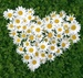 Символ праздника- полевой цветок ромашка
