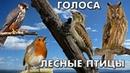 Голоса 38 лесных птиц Птицы России / Мини-определитель ГолосаПтиц